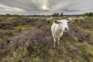 Heidewandeling paarse pracht Drenthe-schaap